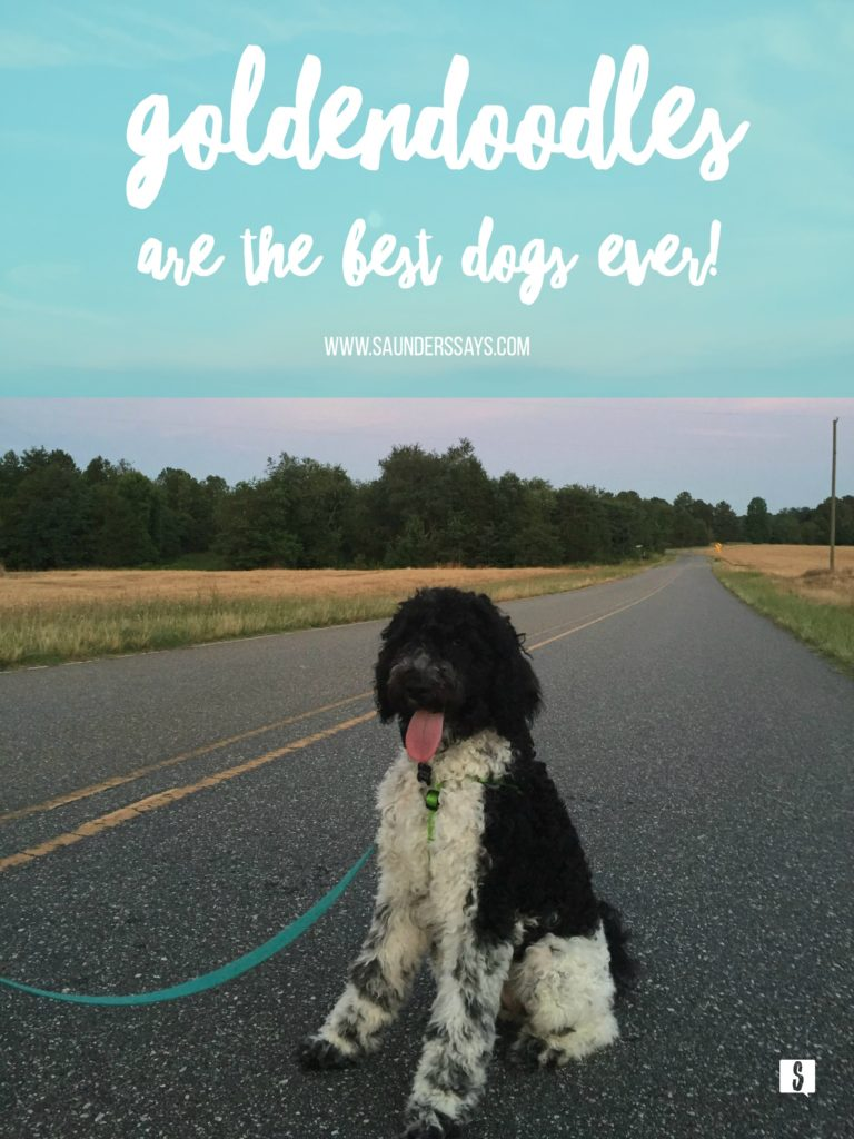 goldendoodles are the best dogs ever! www.saunderssays.com